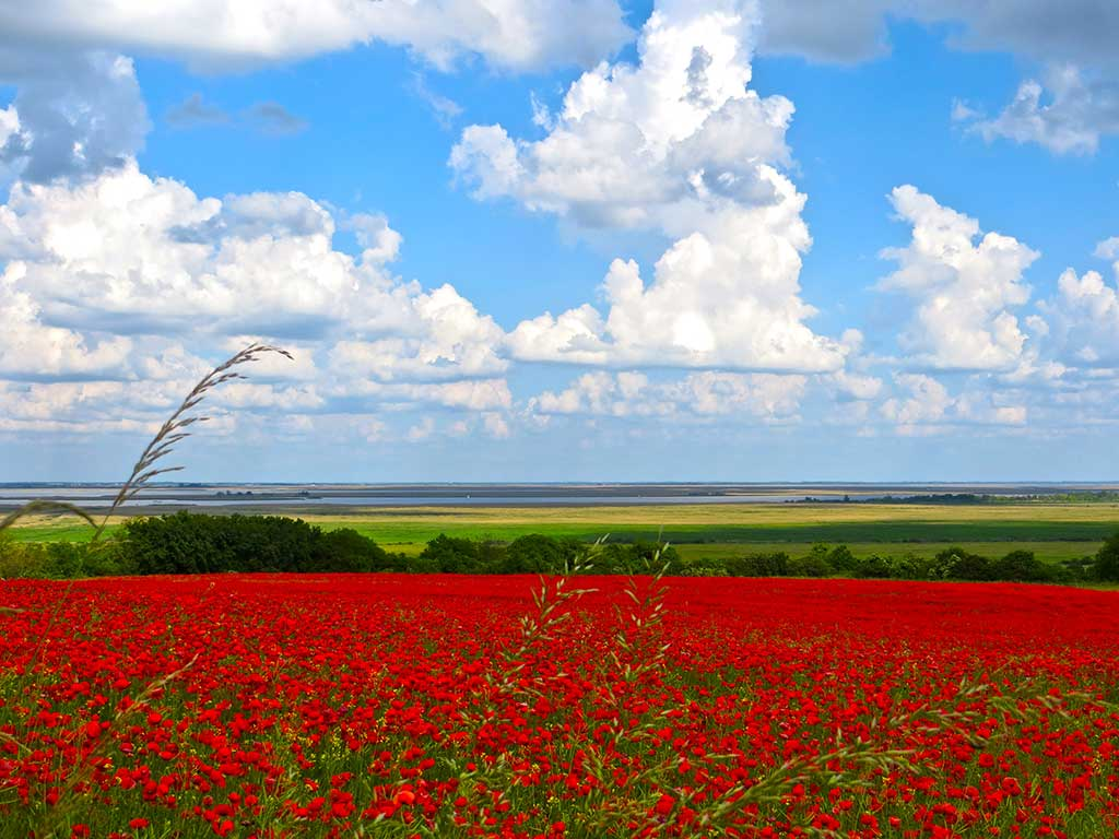 Bike tours in West Hungary - Poppy field at Lake Fertő