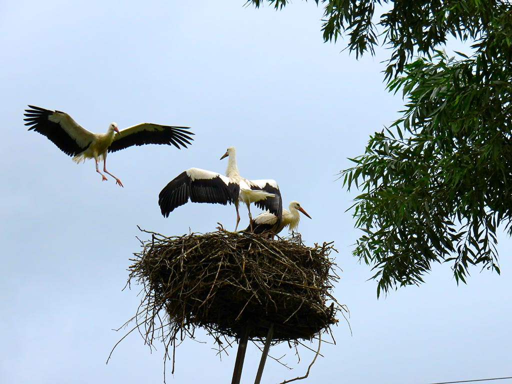 Bike tours in South Hungary - White stork family